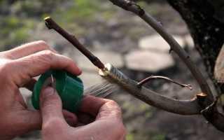Привить яблоню осенью своими руками