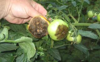 Спасаем помидоры от фитофторы в теплице причины заболевания