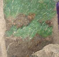 Саженцы хвойников с закрытой корневой системой