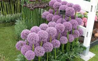 Условия выращивания и уход за декоративным луком