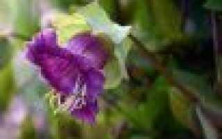 Кобея фото цветов