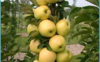 Колоновидная яблоня уход и обрезка