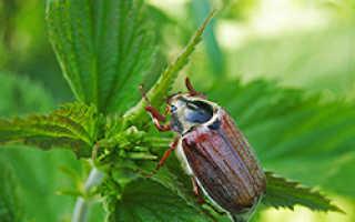Образ жизни майского жука