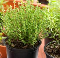 Выращивание тимьяна на подоконнике