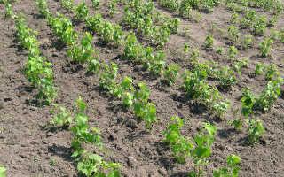 Схема посадки саженца смородины