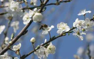 Как опыляется вишня