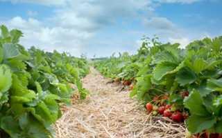 Технология выращивания клубники на садовом участке