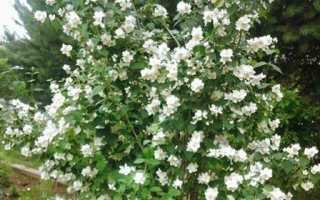 Жасмин фото цветок кустарник