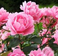 Почему ослабевает цветение пиона
