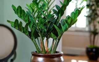 Размножение долларового дерева в домашних условиях