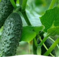 Почему могут плохо расти огурцы в теплице