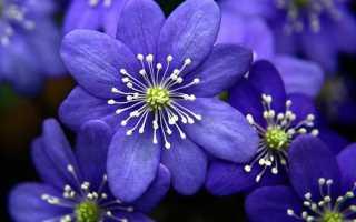 Название синих цветов