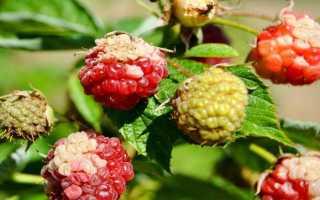 Болезни малины и борьба с ними