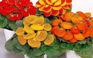 Кальцеолярия выращивание из семян в домашних условиях