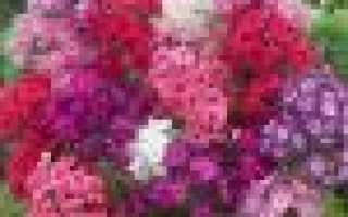 Флоксы садовая посадка и уход в открытом грунте