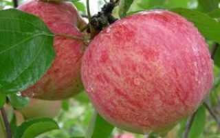 Коричное полосатое яблоня описание фото