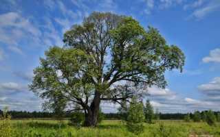 Вязь дерево полезные свойства