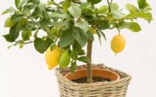 У лимона опадают листья что делать