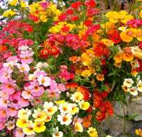 Посев немезии в саду