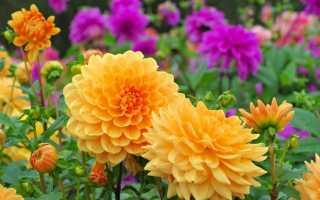 Георгин фото цветов