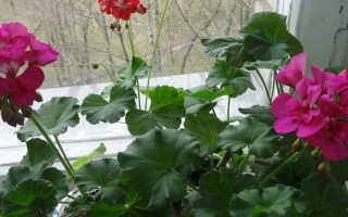 Уход за геранью осенью подготовка к зиме