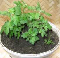 Размножение хризантемы многолетней зелеными черенками