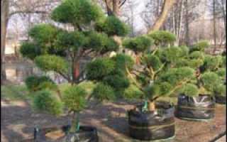 Стрижка бонсаи и живой изгороди