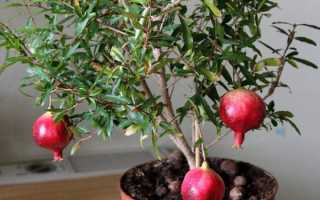 Дерево граната в домашних условиях как ухаживать