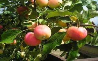 Яблоня заветное описание фото отзывы