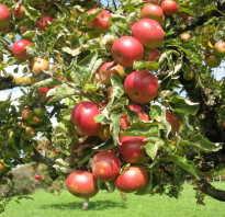 Яблоня сколько лет живет дерево