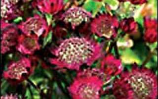 Астранция в природе и в садовом дизайне