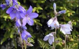Синюха полемониум в саду