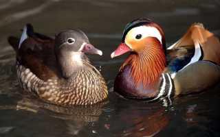 Мандаринка фото птицы