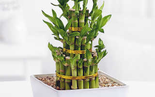 Выращивание бамбука в домашних условиях