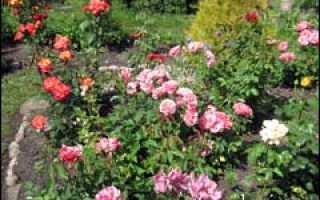 Розы в саду под санкт петербургом