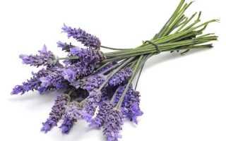 Цветки лаванды полезные свойства