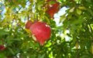Фото гранатового дерева