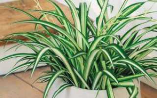 Хлорофитум сохнут кончики листьев причина