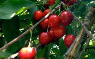 Гуми растение полезные свойства выращивание