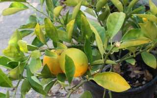 Лимон сбрасывает листья что делать