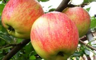 Сорт яблони чемпион