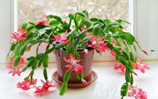 Цветок шлюмбергера уход в домашних условиях фото