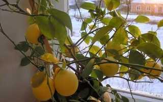 Лимон сбросил все листья как его оживить
