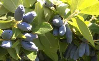 Чем полезна ягода жимолость