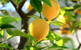 Лимон как ухаживать в домашних условиях