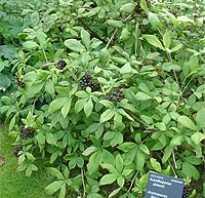 Акантопанакс в ландшафтном дизайне выращивание и уход