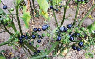 Самбери ягода полезные свойства и противопоказания