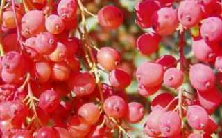 Сорта барбариса для живой изгороди