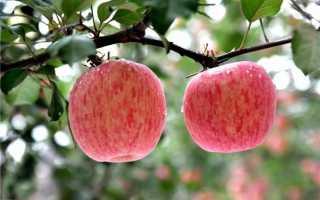 Сорт яблони фуджи