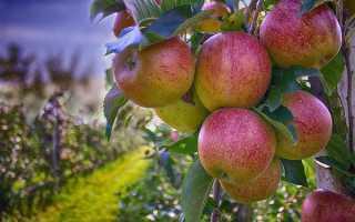 На какой год плодоносит яблоня